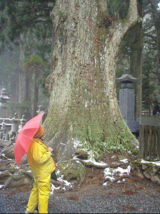 奥の院の巨木